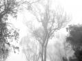 Eucalyptus 15