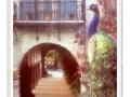 Peacock & border